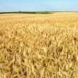 Field of ripe wheat gold color — Stock Photo