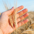 Wheat in hand — 图库照片