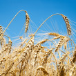 Ripe wheat ears against sky — Stock Photo