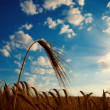 Barley with sun — Stock Photo