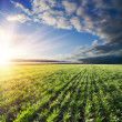 Agricultural green field — Stock Photo