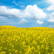 Royalty-Free Stock Photo: Oil rape in field