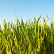 Green grass — Stock Photo #5587410