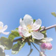 Flower of apple — Stock Photo