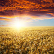 Field in sunset - Stock Photo