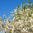 Branches with white flowers — Stock Photo