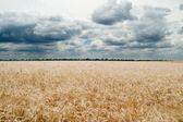 Field of ripe wheat gold color — Stock Photo