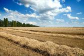 Golden wheat ears — Stock Photo