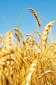 Gold ears of wheat — Stock Photo