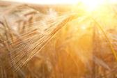 Ears of wheat sun against — Stock Photo