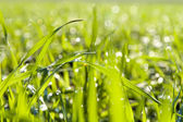 Green grass close up — Stock Photo