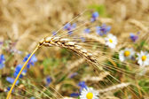 Ears of wheat with flowers — Stock Photo