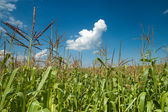 Field with maize — Stock Photo