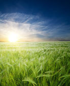 Green wheat in field — Stock Photo