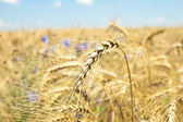 Wheat with flowers — Stock Photo