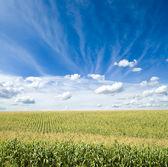 Green maize field — Stock Photo