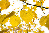 Golden leafs — Stock Photo