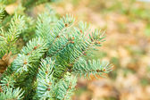 Close-up of pine — Stock Photo