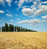Wheat with trees — Stock Photo