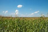 поле с кукурузой — Стоковое фото
