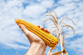 Maize in hand — Stock Photo