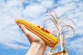 кукуруза в руке — Стоковое фото