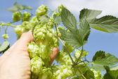Hops in hand — Stock Photo