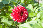 Flower of dahlia — Stock Photo