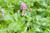 Potato's blooming — Stock Photo