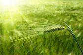 Yapraklara altında yeşil buğday — Stok fotoğraf