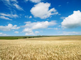 Field with barley — Stock Photo
