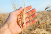 Wheat in hand — Foto Stock