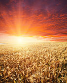 Field and sunset — Stock Photo