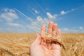Harvest in hand — Stock Photo