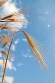 Orecchie di grano dorato — Foto Stock