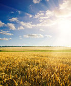 Sunset over barley — Stock Photo
