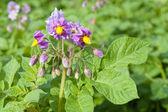 Květ brambor — Stock fotografie