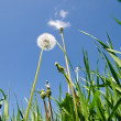 Dandelion in green grass field — Stock Photo