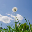 Dandelion in green grass — Stock Photo