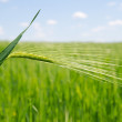 Stock Photo: Green wheat in field