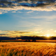 Gold barley in sunset — Stock Photo