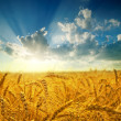 Golden field under sunset - Stock Photo