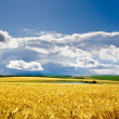 Field with golden barley - Stock Photo