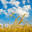 Stock Photo: Ripe wheat ears