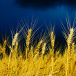 Golden field — Stock Photo #6133174
