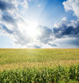 Field with green maize — Stock Photo