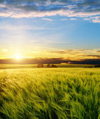 Green wheat under sunrays — Stock Photo