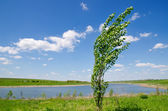 Tree of poplar — Stock Photo