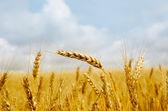 Gold barley — Stock Photo