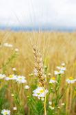 小麦用鲜花的耳朵 — 图库照片